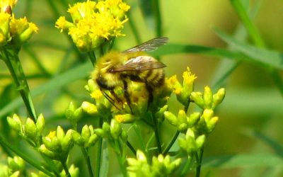 Native Bees: What's All the Buzz About?